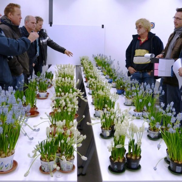 Uitbloeiproef Flowerwatch 2013 Muscari Magic